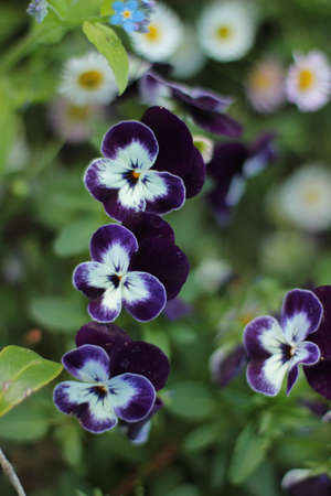 blue and white violas with other flowers in background,
