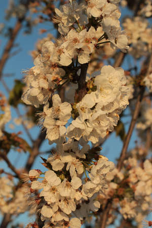 close up of cherry blossoms in golden light against blue sky