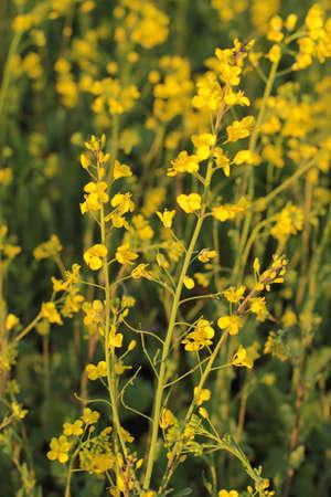 mustard plant: mustard plant up close
