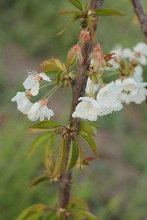 a few cherry blossoms up close