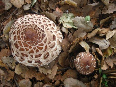 mushrooms up close on oak leaves