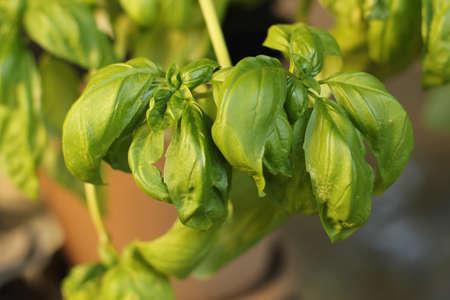 fresh basil plant in garden Banco de Imagens - 15605947