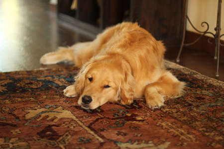golden retiiever relaxing on rug
