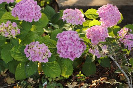 purple hydrangeas in garden