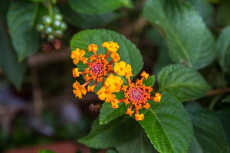 lantana camara: Lantana or Wild sage or Cloth of gold or Lantana camara flower