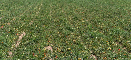 po valley: Growing tomatoes - Country in the Po Valley - Italy