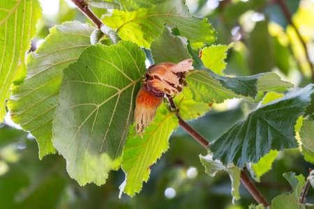 filbert: Hazel filbert tree with hazelnuts on the branch macro closeup Stock Photo