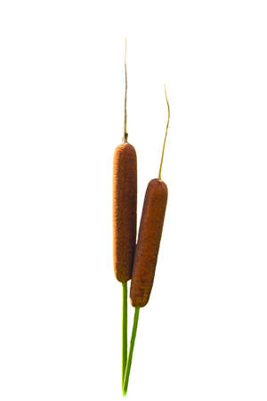 Beautiful typha on white background Stock Photo