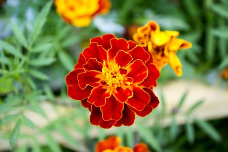 French Marigolds golden flower (Tagetes patula). Macro Stock Photo