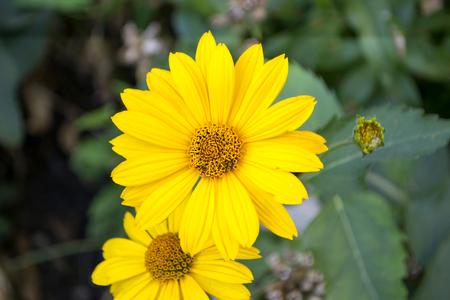 Flower with leaves Calendula. Calendula officinalis or English marigold. Stock Photo