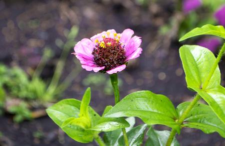 Flower pink zinnia on a flower bed closeup Stock Photo