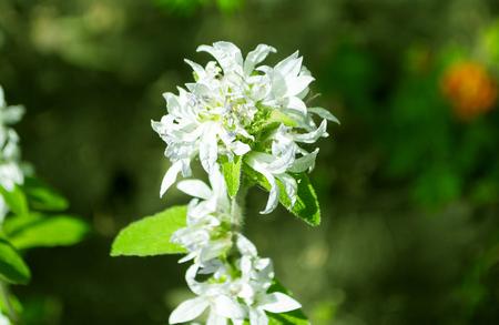 Flower Aconitum napellus on the flowerbed closeup