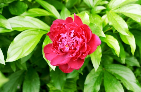 Peony flower pink on a flower bed closeup