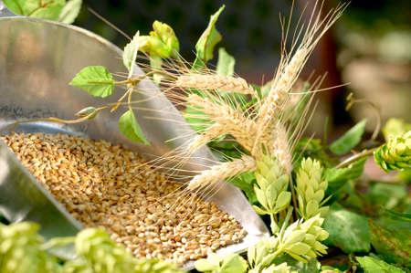beer production: Ingredients for beer