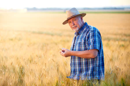 Senior farmer with straw hat checks wheat grain in the field Banque d'images