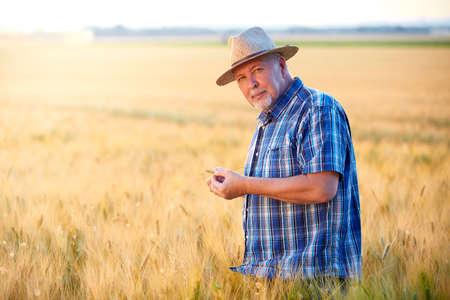 Senior farmer with straw hat checks wheat grain in the field Standard-Bild