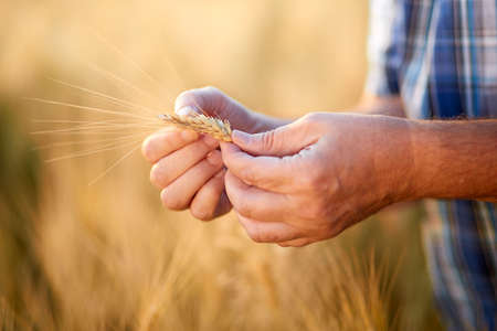 barley head: Close up of Hands from male farmer, checking grain