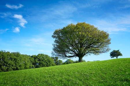 Lonley old tree in meadow at summertime