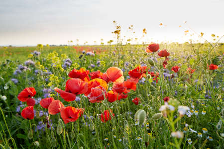 Meadow full of wild flowers in summer at sunset