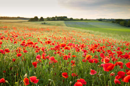 Wunderfull poppy field in late may Stock Photo