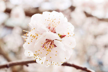 picnicking: The flowering trees symbolize renewal of spring. The tradition of hanami - is a Japanese custom of picnicking under a blooming tree.