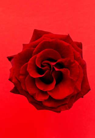 fondo rojo: rosa roja