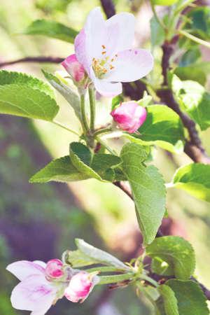 arbol de manzanas: Manzano en flor en primavera Foto de archivo