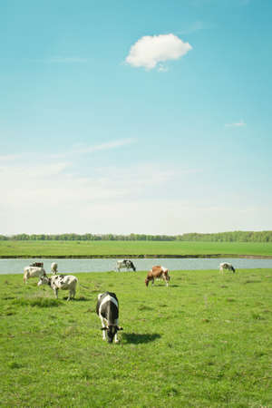 cattle grazing: Cattle grazing near the lake