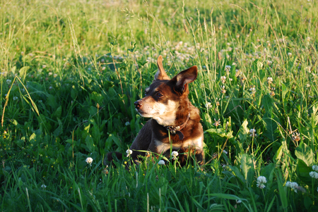 Small brown doggie sitting in a meadow