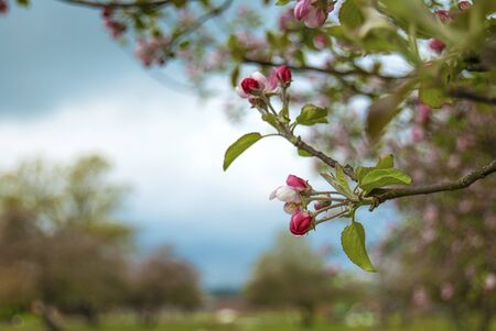 Blooming apple orchard in spring located in Latvia
