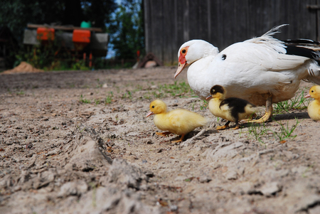 Ducklings with their mother Imagens
