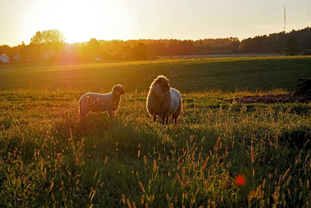 Sheep and a lamb in the sunset