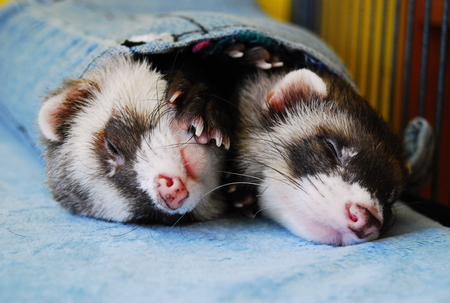 Two cute sable ferrets sleeping Imagens