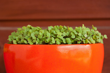 Growing fresh rucola in a pot