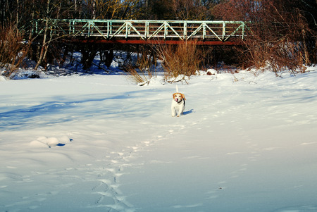 Beagle dog running through the snow in the winter Imagens
