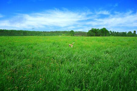 Beagle dog running through a meadow