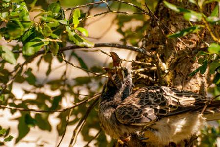 African Grey Hornbill bird (Tockus nasutus)