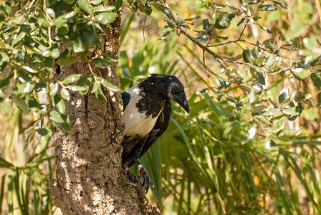African Pied Crow bird (Corvus albus) Imagens