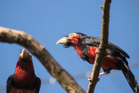 Bearded Barbet bird (Lybius dubius) Imagens