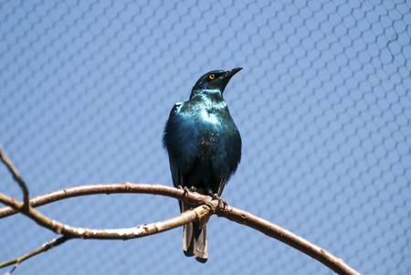 Lesser Blue Eared Glossy Starling bird (Lamprotornis chloropterus)