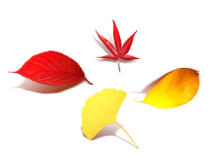 Red and yellow leaves for your autumn decoration