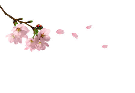 Cherry blossom branch on the blue background for your summer design