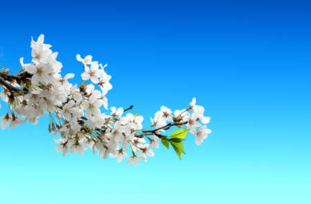 Cherry blossom branch on the blue background for your summer design photo