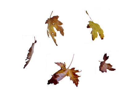 discarded: Autumn yellow leave on the white background