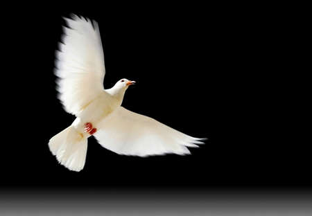 A free flying white dove with a green plant isolated on black background. Stock Photo