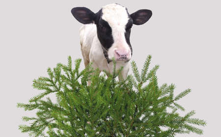 Here you can see nice a calf and a green grass Stock Photo