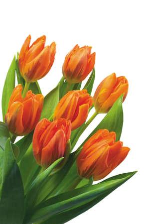 Orange tulips for your spring design