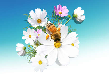 Beautiful camomile on the blue background with a bee Stock Photo