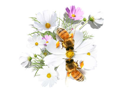 Beautiful camomile on the white background with  bees