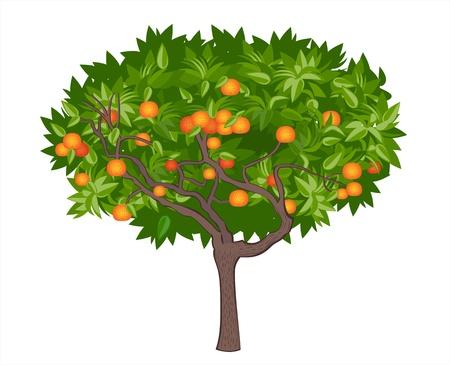 naranja arbol: Mandarin �rbol Vectores